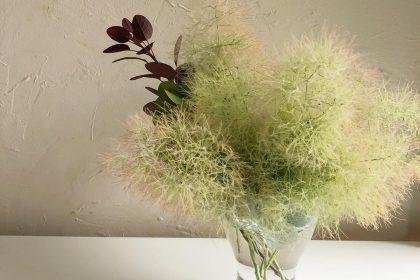 スモークツリー 枝 剪定 庭先 草木 新芽 咲き開く 季節 花のある生活 夏