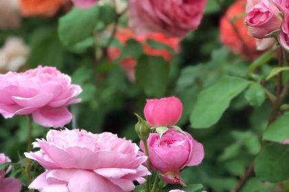 世界のバラと美しいガーデニングショウ 西武ライオンズ 本拠地 メットライフドーム 埼玉県 所沢市